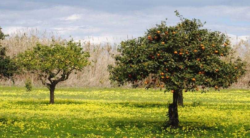 agricoltura siciliana all'estero