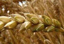 assicurazione grano