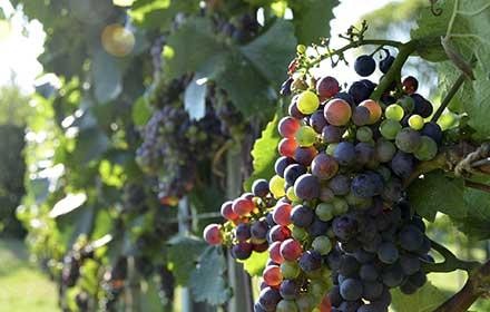 contributi aziende vitivinicole
